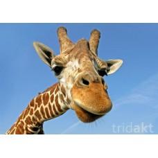 3D pohlednice ŽIRAFA